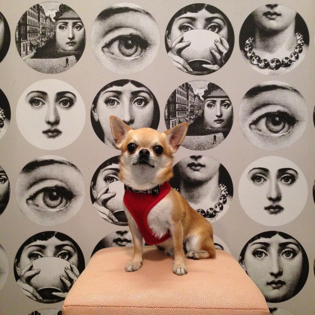Fornasetti wallpaper & chihuahua Miami